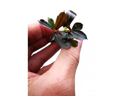 Bucephalandra brownie jade 1 removebg preview