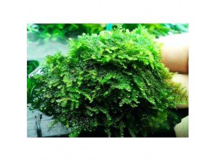 china moss