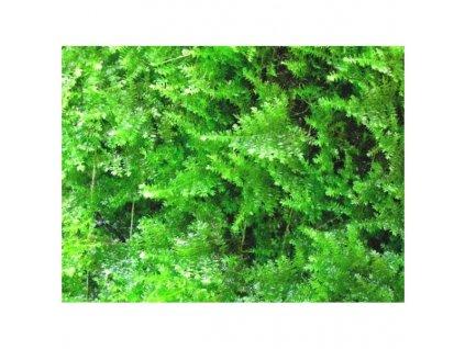 Vesicularia montagnei - Christmas moss
