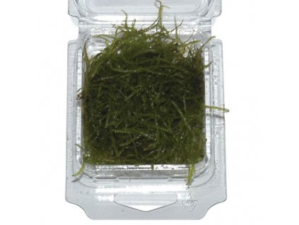Taxiphyllum barbieri (Vesicularia) - Java moss