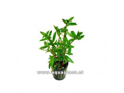 Ammania gracilis green