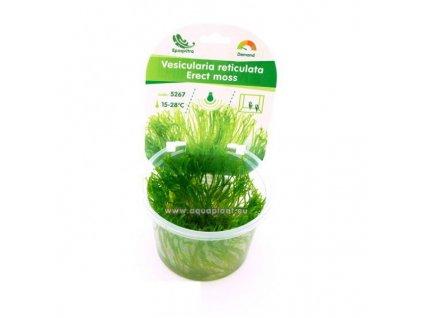 Vesicularia reticulata - Erect moss
