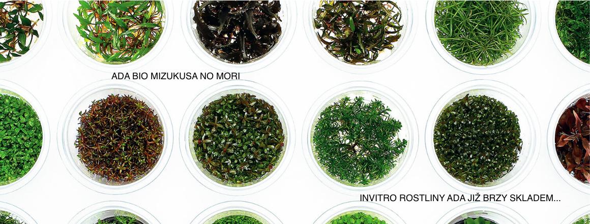 Originální InVitro rostliny japonské značky ADA