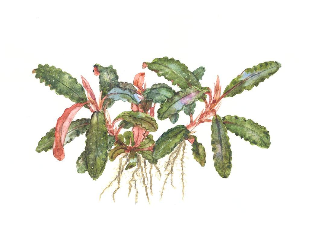 "Bucephalandra sp. ""Red"""