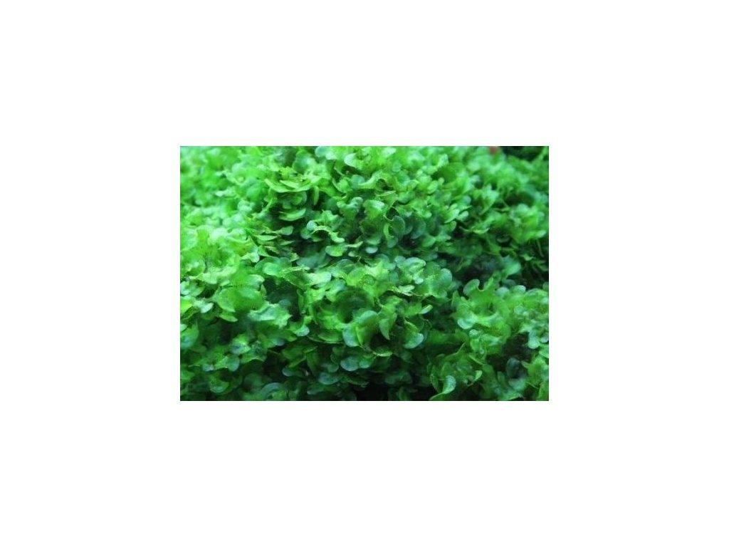 "Lomariopsis cf. lineata ""Round Pellia"""