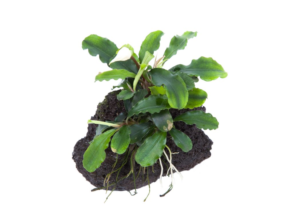 Bucephalandra 'Wavy Green' na lávovém kameni
