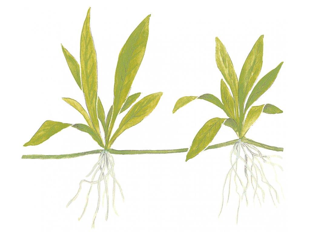 Helanthium 'Quadricostatus' 1-2-Grow!