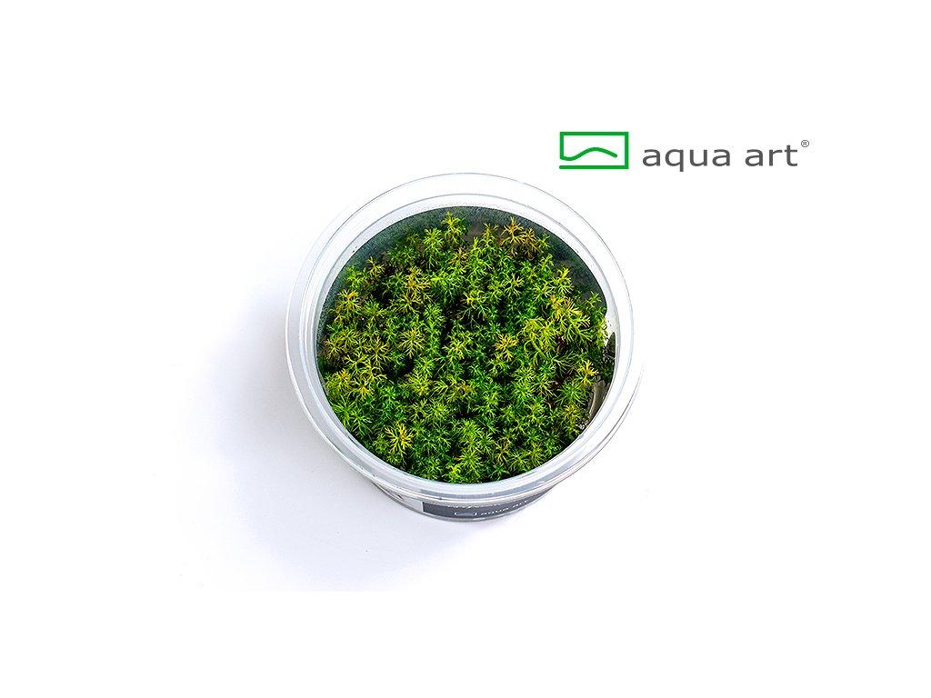 Myriophyllum aquaticum open