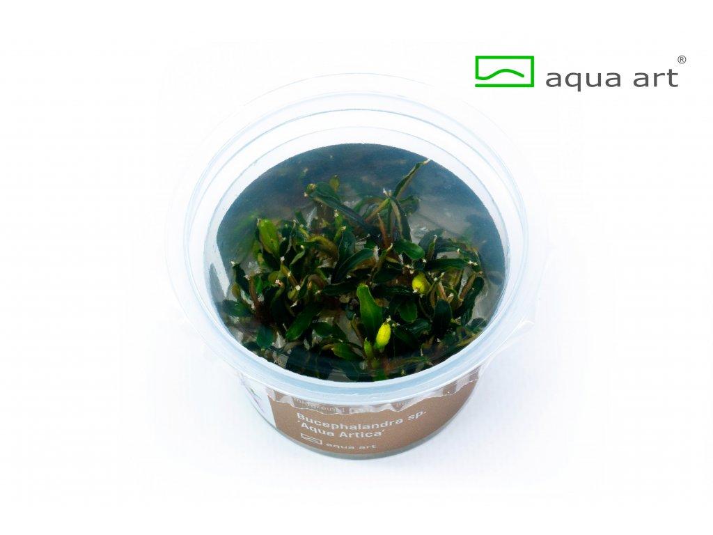 2200 Bucephalandra sp. 'Aqua Artica' 2