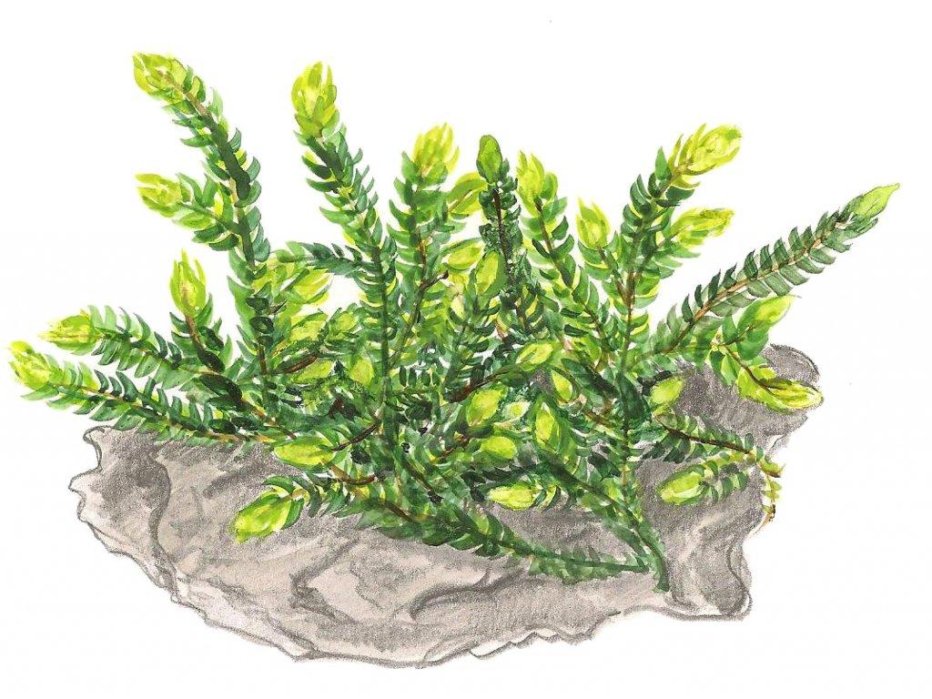 """Fontinalis antipyretica """"Willow moss"""""""