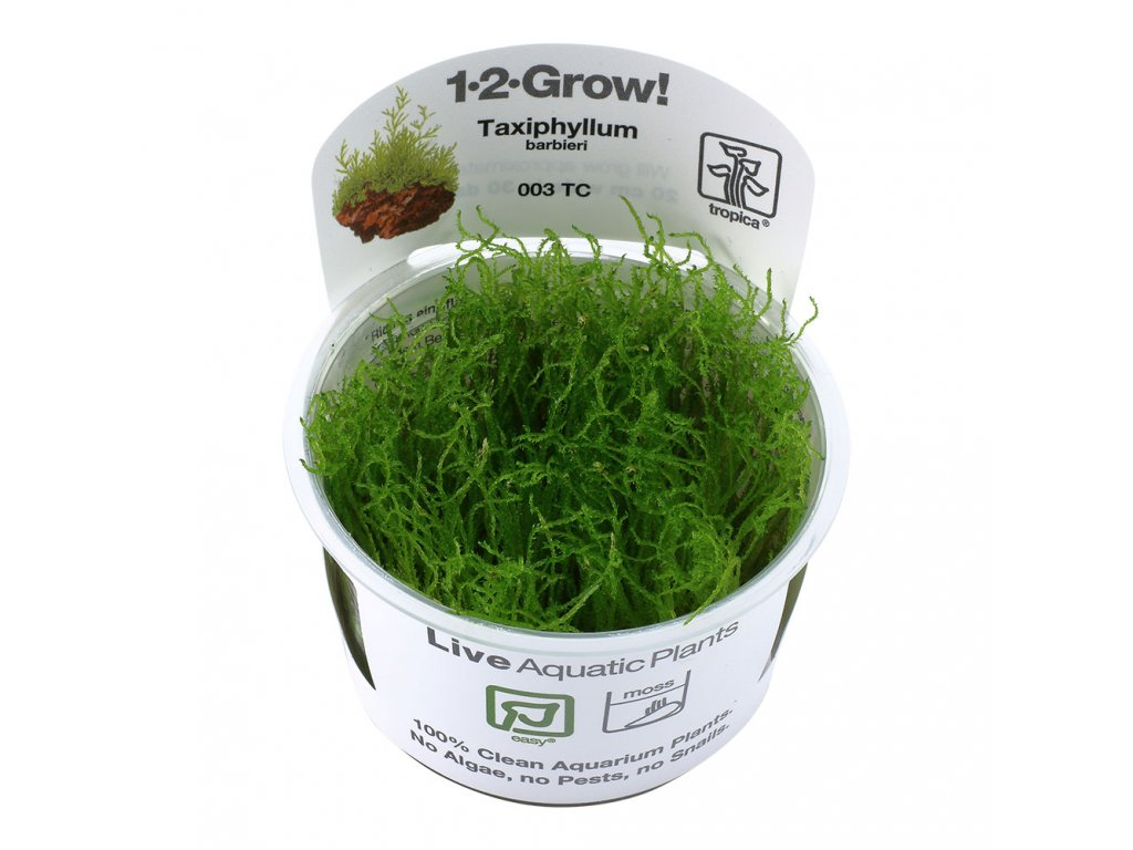 "Taxiphyllum barbieri ""Java moss"""