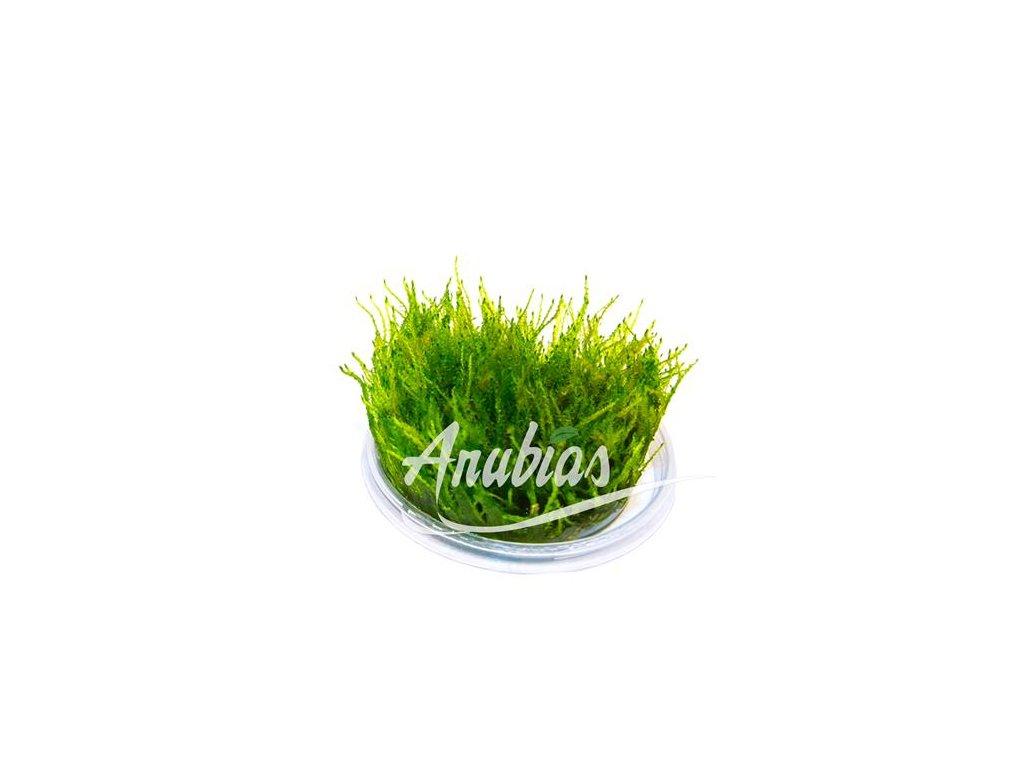 """Taxiphyllum alternans """"Taiwan Moss"""""""