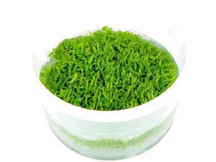 Utricularia graminifolia 1-2-Grow!