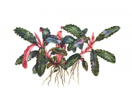 """Bucephalanda sp. """"Kedagang"""""""