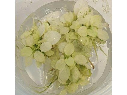 Anubias sp. %22Mini white pearl%22