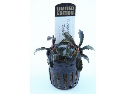 Bucephalandra sp. %22Kedagang Red Godzilla%22