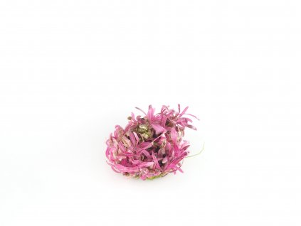 "BIO Hygrophila Lancea Araguaia ""Sp. Chai"""