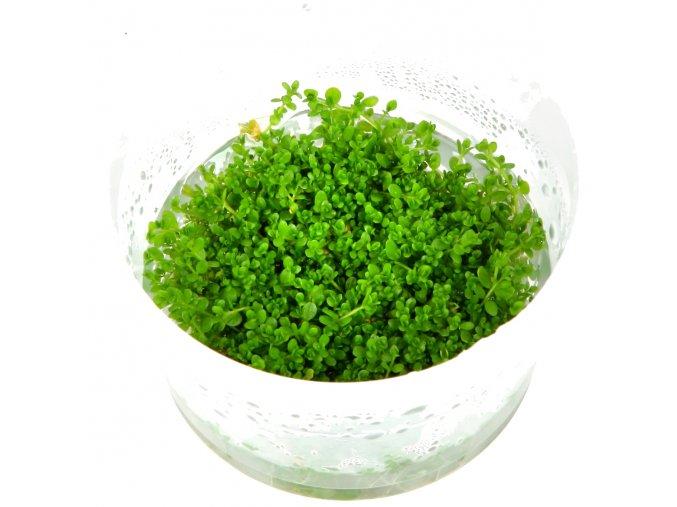 "Hemianthus callitrichoides ""Cuba"" 1-2-Grow!"