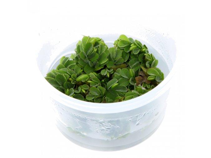 Salvinia auriculata 1-2-Grow!