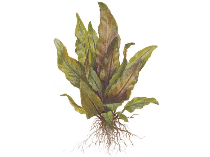 Cryptocoryne undulata 'Broad Leaves'