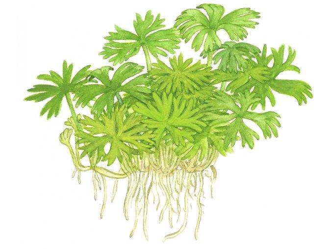 Ranunculus inundatus