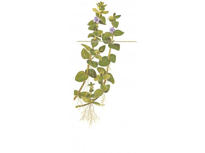 Bacopa caroliniana 1-2-Grow!