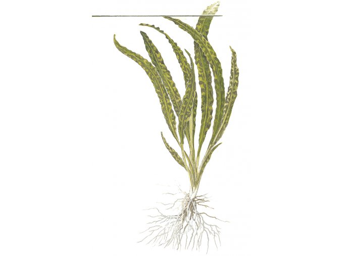 Cryptocoryne crispatula 1-2-Grow!