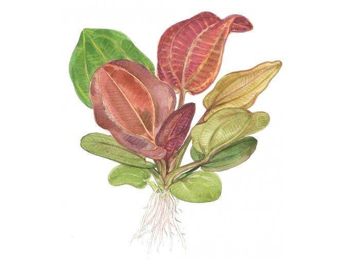 Echinodorus 'Reni' 1-2-Grow!