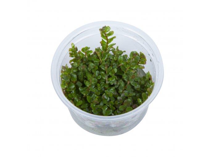 Rotala rotundifolia 1-2-Grow!