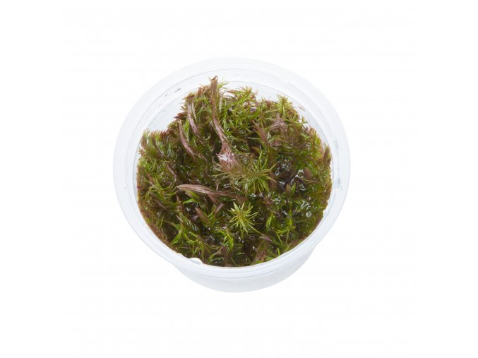 Rotala wallichii 1-2-Grow!
