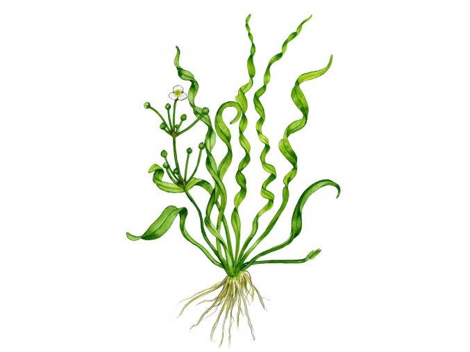 """Echinodorus angustifolia """"Vesuvius"""""""
