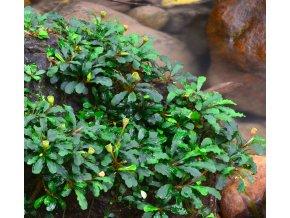Bucephalandra cf. motleyana %22Sintang%22
