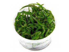 Heteranthera zosterifolia 1-2-Grow!