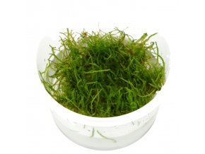 "Taxiphyllum barbieri ""Java moss"" 1-2-Grow!"
