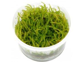 "Vesicularia ferrieri ""Weeping moss"""