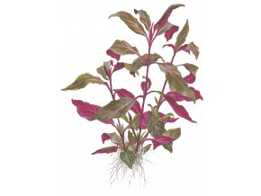 "Alternanthera reineckii ""Purple"""