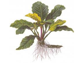 "Anubias barteri ""Coffeefolia"""