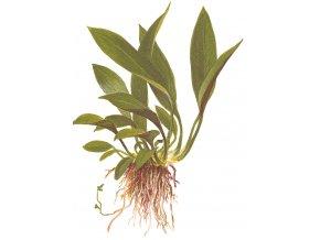 Anubias barteri var. angustifolia