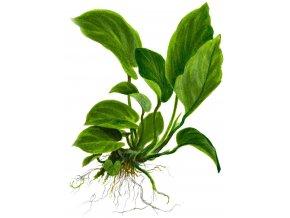 Anubias barterri var. caladiifolia
