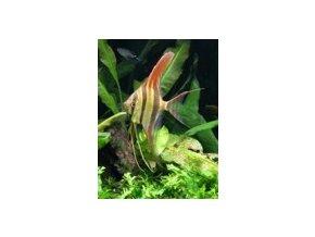 pterophyllum altum orinoco