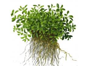 Glossostigma elatinoides