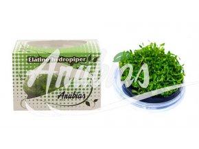 Elatine hydropiper
