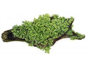 Riccardia chamedrifolia