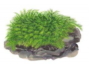 """Fissidens fontanus """"Phoenix moss"""""""