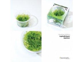 leptodictyum riparium stringy moss linea cup