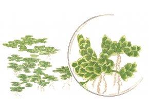 Azolla filiculoides 1-2-Grow!