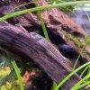 "Stiphodon sp. ""Red Sumatra"""