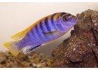Labidochromis hongi red - Tlamovec hongi red