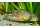 Geophagus steindachneri - Perleťovka červenopřilbá
