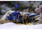 Aulonocara calico - Tlamovec skvrnitý